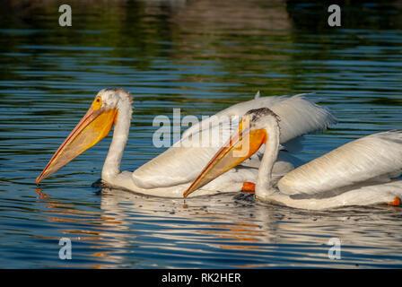 American White Pelicans (Pelecanus erythrorhynchos) in Expo Park  pond, Aurora Colorado US. Photo taken in July. - Stock Image