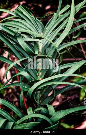 Curly Flower, Boranup Forest, Western Australia - Stock Image