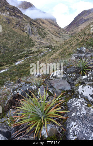 Cacti and Bromeliads growing the high altitude mountains of Cusco, Peru - Stock Image