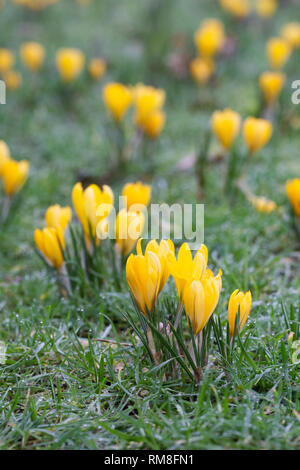 Crocus x luteus 'Golden Yellow' flowers. - Stock Image