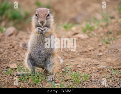 Cape Ground squirrel (Xerus inauris) standing on its hind legs holding a seed in its front claws. Full length portrait on dry arid land - Stock Image