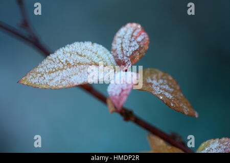 frosty clematis shoot on a cold winter morning Jane Ann Butler Photography  JABP1814 - Stock Image