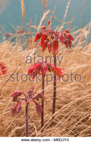 Three stalks of Bryophyllum delagoense also known as 'mother-of-millions' in natural habitat - Stock Image