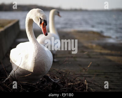 Swans Against Lake On Sunny Day - Stock Image