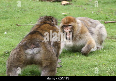 Fighting male Barbary macaques (Macaca sylvanus) facing each other - Stock Image