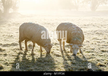 Bristol, UK. 30th Jan, 2018. UK Weather. Two sheep doing their best to find grass to eat on the frozen ground after - Stock Image