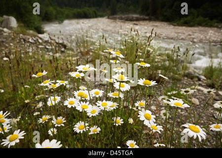 Oxeye daisies (Chrysanthemum leucanthemum) growing on the banks of Silverhope Creek, Silver Lake Provincial Park, - Stock Image