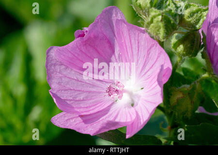 Musk Mallow (malva moschata), close up of a single flower. - Stock Image