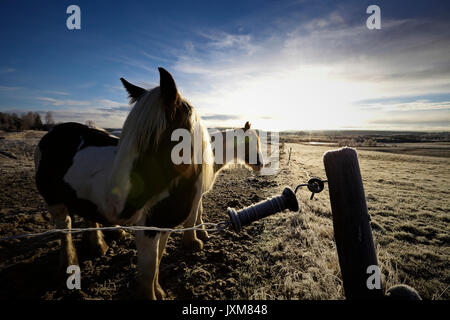 A herd of Tinker horses is standing on a frosty pasture under a cloudy sky in Anundsjoe, Sweden. - Stock Image