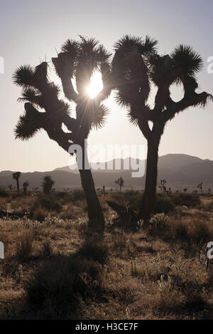Joshua trees backlit by sun, Joshua Tree National Park, California, USA - Stock Image