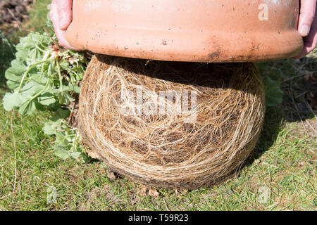 tipping a pot bound alchemilla mollis plant out of pot - Stock Image