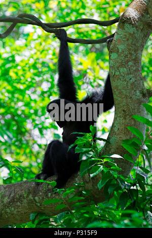 Wild Siamang Gibbon - Stock Image