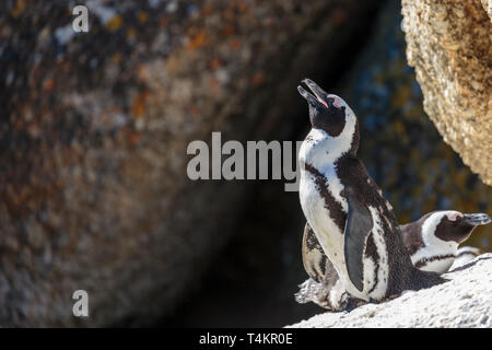 African penguin, Spheniscus demersus, standing on a rock basking in the sun, at Simonstown, South Africa - Stock Image