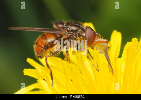 Hoverfly (Rhingia campestris) feeding on dandelion flower. Tipperary, Ireland - Stock Image