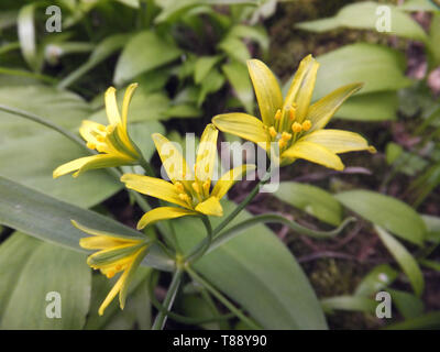 Yellow Star-of-Bethlehem, Gagea lutea,Liliaceae family,found growing in woodland on basic soils.Rare but locally abundant.Flowers April -May, Mendips - Stock Image