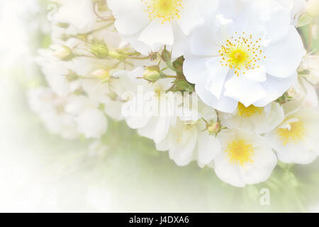 White rose flowers in full bloom on a  summer day in a romantic soft light, lots of text or copy space, background - Stock Image