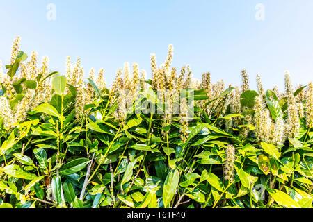 Laurel tree flowering, Bay laurel, Laurus nobilis, Lauraceae, Bay laurel flower, Bay laurel flowering, Bay laurel tree, Laurel, tree, flower flowering - Stock Image