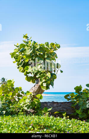 Small tree growing on a beach in Cuba. - Stock Image