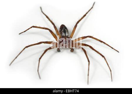 A male Running Crab spider (Philodromus sp) on a white background, part of the family Philodromidae - Running Crab - Stock Image