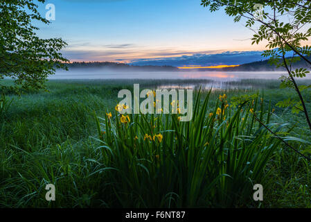 Summer night landscape with yellow iris flowers - Stock Image
