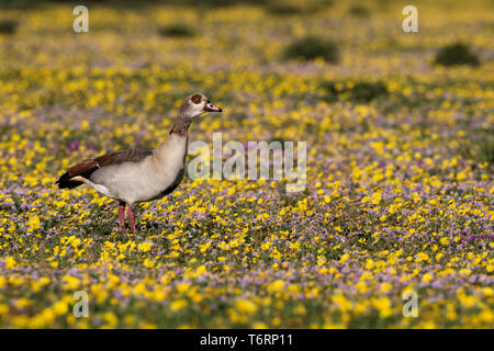 Egyptian goose (Alopochen aegyptiaca) in springflowers, Addo elephant national park, Eastern Cape, South Africa, September 2018 - Stock Image