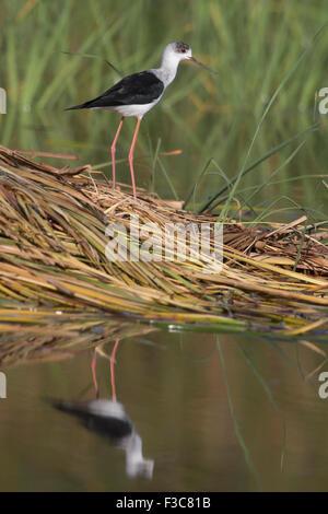 Black-winged Stilt & reflection - Stock Image
