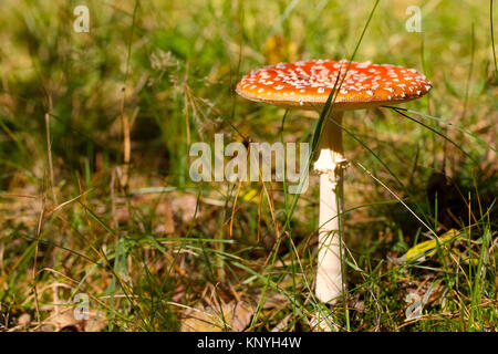 One red toadstool is seen in the autumn forest - Stock Image