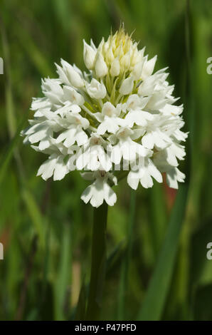 Rare white flowers inflorescence - albiflora - version of wild pyramidal orchid (Anacamptis pyramidalis) over a natural green out of focus background. - Stock Image
