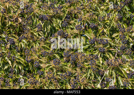 Clusters of ripe Common ivy Hedera Helix berries in sunshine - Stock Image