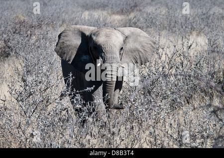 Juvenile African Elephant, Loxodonta africana, with ears spread, tusks just appearing, Etosha National Park, Namibia, - Stock Image
