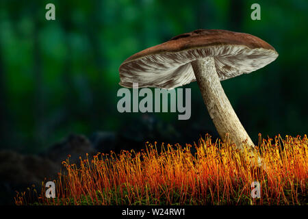 Mushroom on colorful mossy log in forest - Stock Image