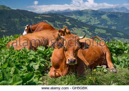 Tarine cows near Beaufort in Savoie (France) - Stock Image