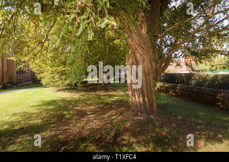 The ancient yew trees at Saint Mary the Virgin Church Overton on Dee North Wales one of the seven wonders of Wales - Stock Image