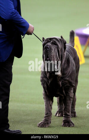 New York, USA. 12th Feb 2019. Westminster Dog Show - New York City, 12 February, 2019:  Maximus, a Neopolitan Mastif with his handler during judging in the Working Group competition at the 143rd Annual Westminster Dog Show, Tuesday evening at Madison Square Garden in New York City. Credit: Adam Stoltman/Alamy Live News - Stock Image