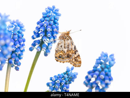 Painted lady butterfly resting on a grape hyacinth - side view on a white background - Stock Image