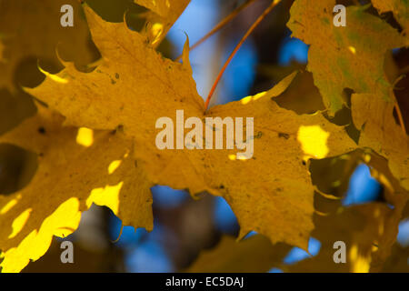 yellow maple leaf in autumn - Stock Image