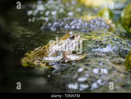 A common European frog amid spawn in Spring. - Stock Image