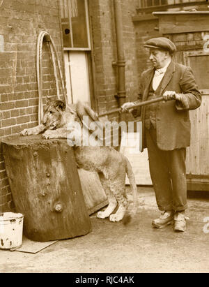 Mary Pickford the young lion cub (!) has her morning wash and brush-down from her keeper - London Zoological Gardens, Regents Park, London. - Stock Image