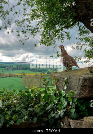 Red-legged partridge (Alectoris rufa) or French Partridge - a gamebird in the pheasant family Phasianidae. North Yorkshire, England. - Stock Image