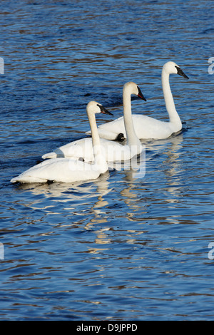 Trumpeter Swans on the Mississippi River, Minnesota, USA. - Stock Image