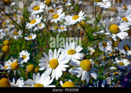 Carpet of wild Oxeye daisies on Soay a deserted island south of Iona in the Inner Hebrides of Scotland - Stock Image