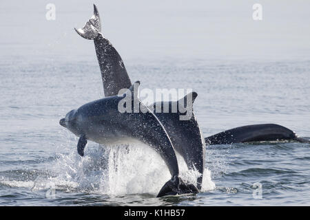 Bottlenose dolphins perfoerm a spectacular triple breach in the Moray Firth - Stock Image