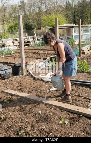 Female gardener watering newly planted cabbages in her allotment, England, UK - Stock Image