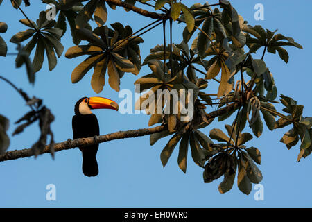 Toco Toucan, Ramphastos toco, perched in a Trumpet tree, Cecropia peltata, also called Snakewood or Pumpwood, Pantanal, - Stock Image