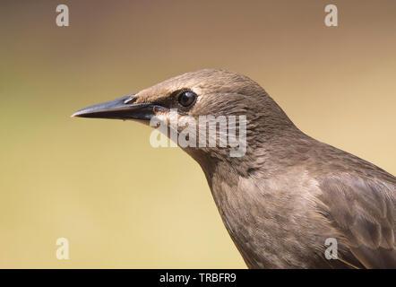 Detailed, close-up side view of the head of a wild, juvenile, British starling bird (Sturnus vulgaris) isolated in UK outdoor habitat. Starling beak. - Stock Image