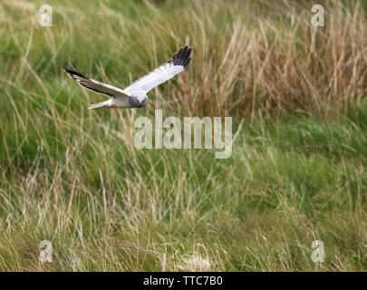 Male Hen Harrier (Circus cyaneus) hunting low over moorland, North Uist, Outer Hebrides, Scotland - Stock Image