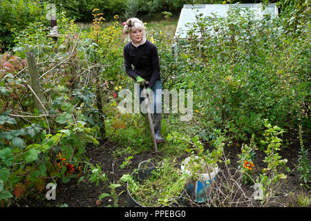 Older senior woman weeding soft fruit bushes and digging soil in a vegetable and flower garden in autumn UK  KATHY DEWITT - Stock Image