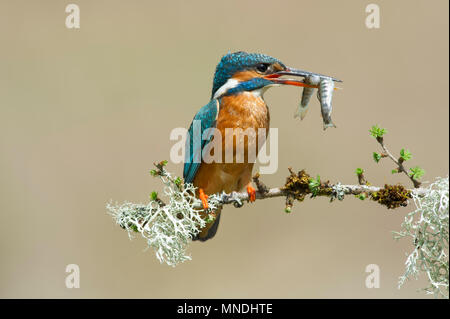 A Female Kingfisher (Alcedo atthis) perched on a branch after catching two fish in one dive over a river in the UK - Stock Image