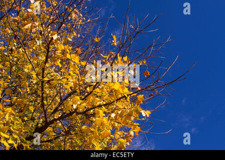 yellow maple leaves in front of intensive blue sky - Stock Image