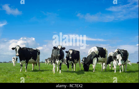 Friesian cows (Holstein/black and white cows) on a field in The Netherlands. - Stock Image